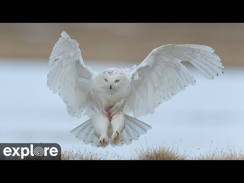 Arctic Snowy Owl - Nesting Cam powered by EXPLORE.org
