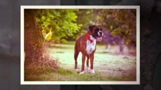 Potty Train Boxer Puppy