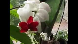 Цветок невестушка