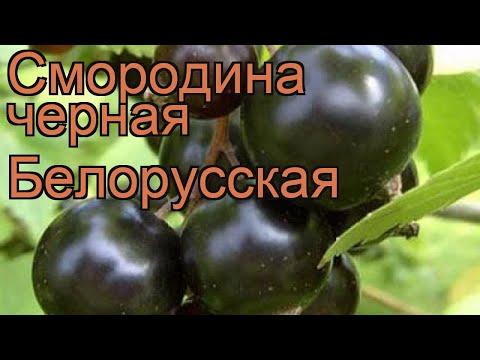 Смородина черная Белорусская (ribes nigrum) 🌿 обзор: как сажать, саженцы смородины Белорусская