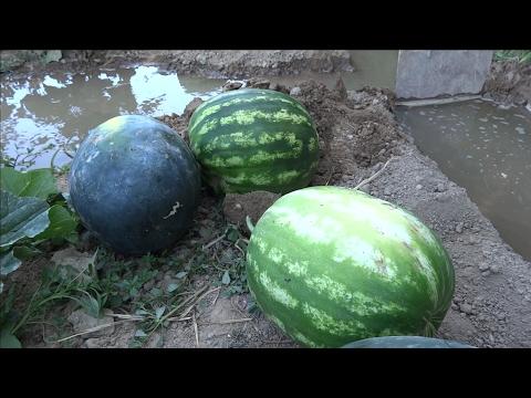 El huerto de Isidro: 13. Sandias y melones