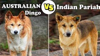 Australian Dingo Vs Indian Pariah Dog (Dingo Vs Desi Dog)