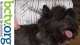 Cairn Terriers 5421