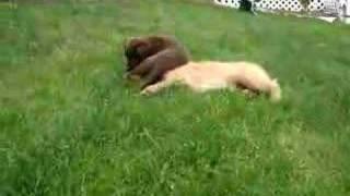 Golden Retriever Puppy Vs. Chocolate Labrador Wrestling