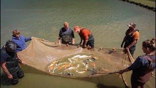 LARGEST KOI FISH HATCHERY!! *CRAZY*