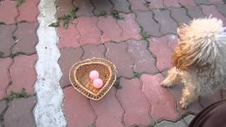 Пудель на МПП. 12 09 2013 . учим трюк с мячами