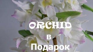 Орхидея Дендробиум Расцвела!!!