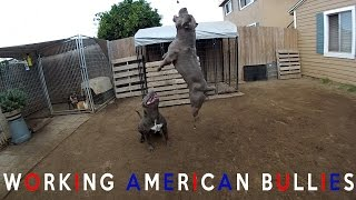 WORKING VS COMPANION STYLE AMERICAN BULLY