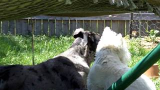 Catahoula Daisy And Westie Rocky Playing Ball (very Sweet)