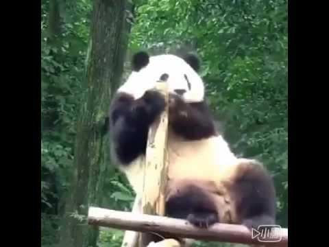 Panda PPAP Feat. Qi Xi (Mei Lan's daughter) VERY FUNNY