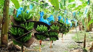 How To Banana Harvesting Cableway - Banana Processing in factory - Banana Farm to harvest