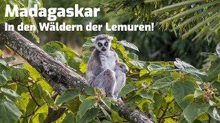 Madagaskar In den Wäldern der Lemuren - in HD Tier & Natur Doku