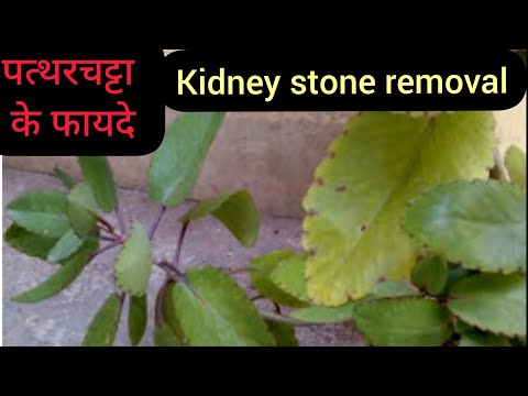 Cure our disease with miracle leaf bryophyllum Pinnatum (patharchtta in hindi