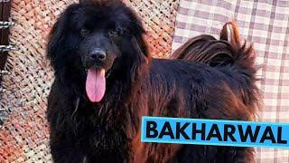 Bakharwal  TOP 10 Interesting Facts