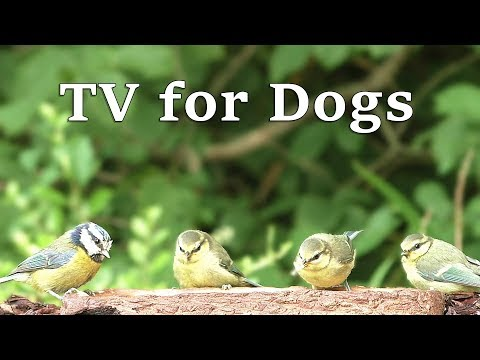 TV for Dogs : Tiny Birds in My Summer Garden