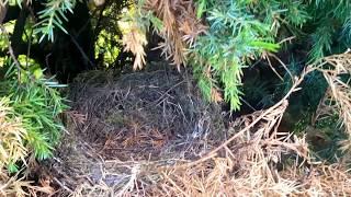 25 мая 2017 г. Гнездо грачей...