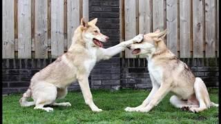 Malice  Saarloos Wolfdog