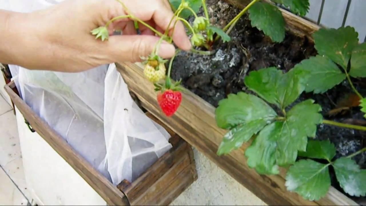 我的有機花園 - 木盒種士多啤梨 ~Go green~  Organic Strawberry in my Garden