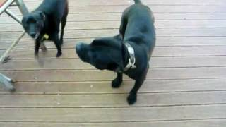 Staffordshire Bull Terrier Talking & Barking