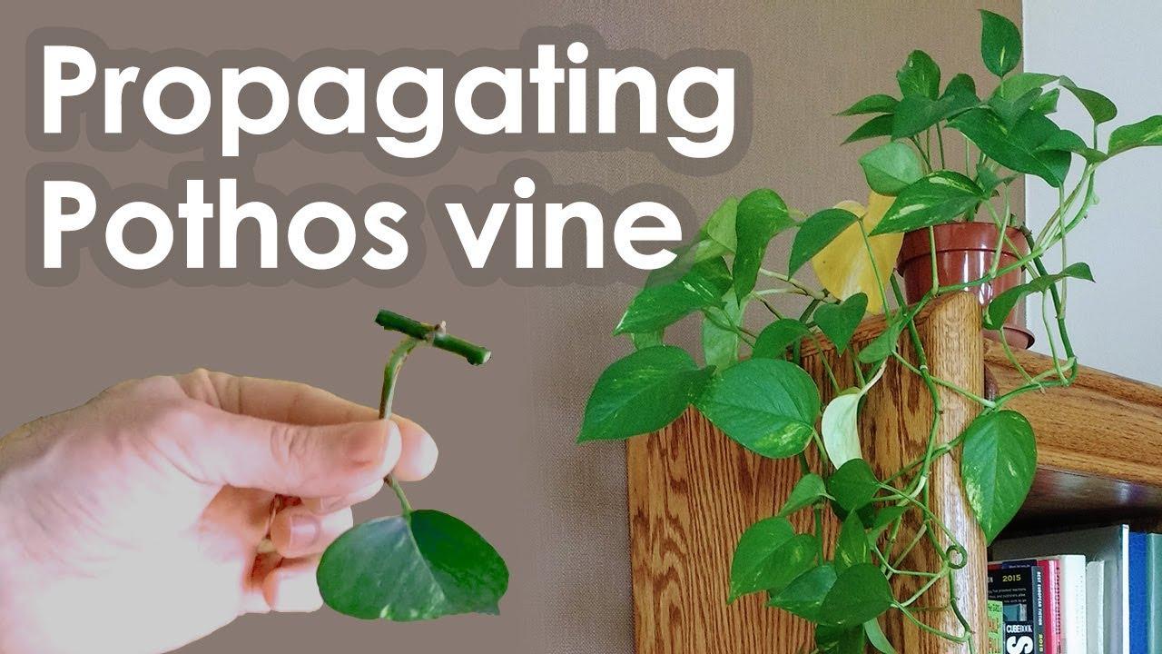 Regrow Pothos Plant
