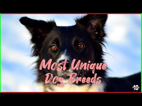 Top 10 Most Unique Dog Breeds in The World 2019