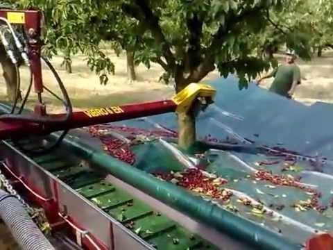 Thu hoạch Trái Cherry
