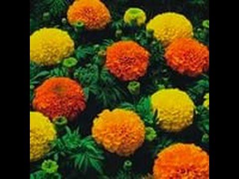 БАРХАТЦЫ.Сеем семена бархатцев на рассаду.Ценность бархатцев