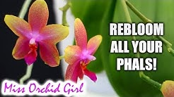 How to get all your Phalaenopsis Orchids to rebloom - Troubleshooting non bloomers
