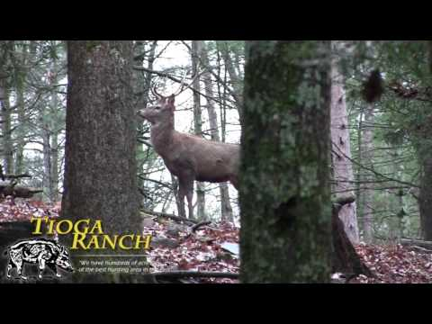 Red Stag Deer Hunting - Guided Hunting Trips In PA | Tioga Ranch