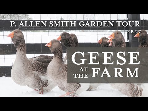 Heritage Geese Varieties: Moss Mountain Farm | P. Allen Smith (2019)