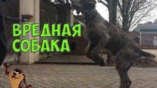 ВРЕДНАЯ СОБАКА | CHOOSY DOG