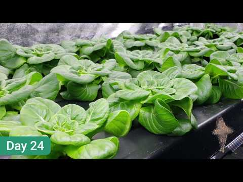 Plant Morphology Innovation - Growth Speed Enhancement per Butterhead Lettuce.