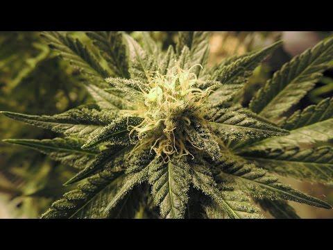 Legal Cannabis Hurts Drug Cartel Profits, Trade