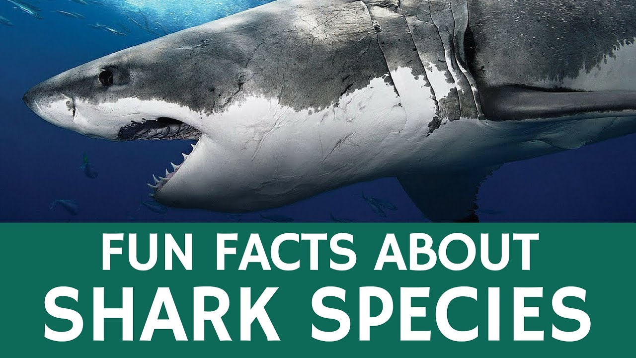 Interesting facts about sharks and predatory fish for Interesting facts about fish