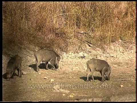 Herd of Indian Wild Boar grazing by a waterhole in Bandhavgarh National Park