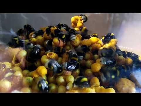 Colmena de abejorros polinizadores