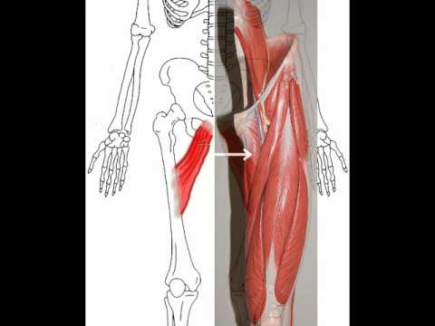 adductor muscles of the thigh - youtube, Human Body