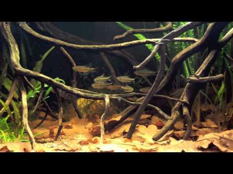 My Black Water Aquarium With Nanochromis Transvestitus And