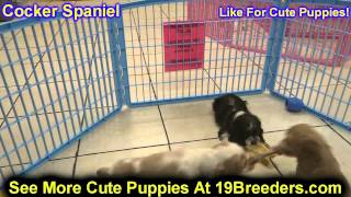 Cocker Spaniel, Puppies, For, Sale, In, Columbus, Ohio, Oh, North Ridgeville, Mason, Bowling Green,
