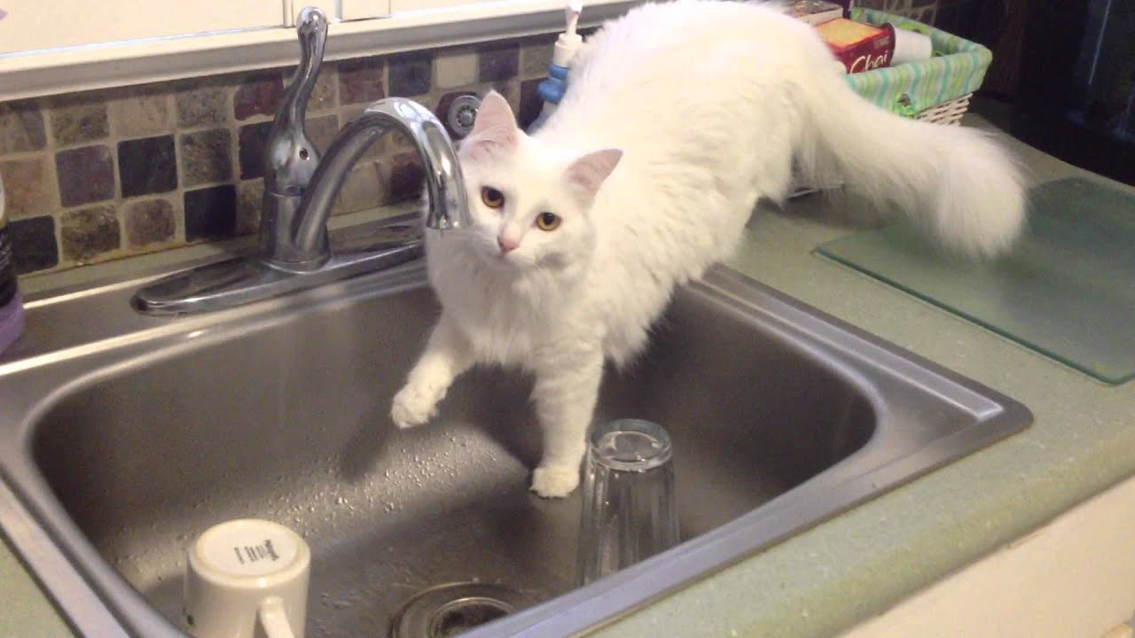 Curious Cat Fascinated By Kitchen Sink Youtube