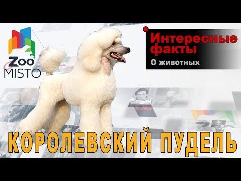 Королевский пудель - Интересные факты о породе    Собака породы королевский пудель