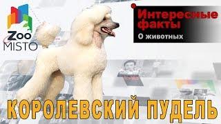 Королевский пудель - Интересные факты о породе  | Собака породы королевский пудель
