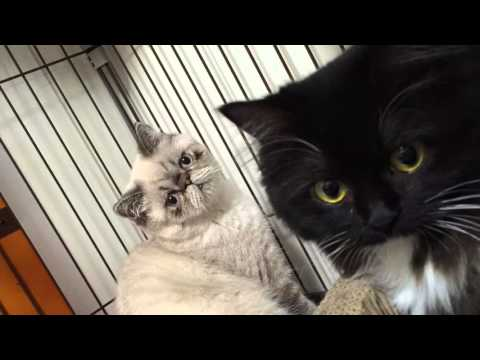 Munchkin and Exotic Shorthair