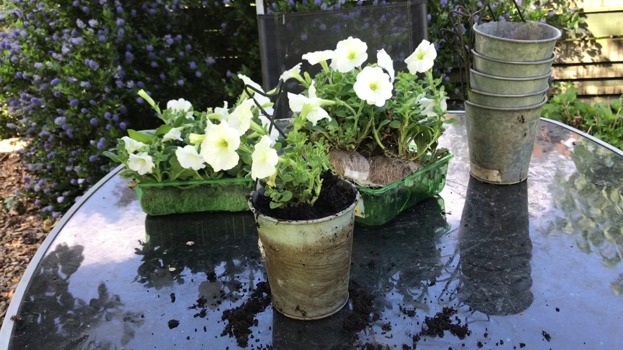 Planting White Petunias In Hanging Pots Youtube