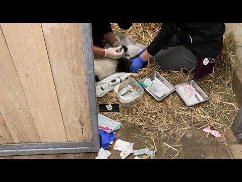 Porzellinchens Fohlen kämpft in der Klinik ums Überleben
