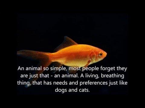 Feeder Goldfish - Help Improve The Lives Of Feeder Fish!