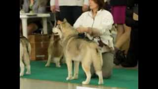 Выставка собак. Тюмень. СОЮЗ. Сибирский хаски