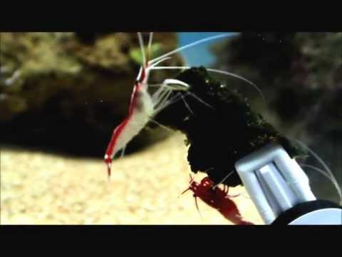 Cleaner Shrimp & Fire Shrimp Chowing down on some Algae