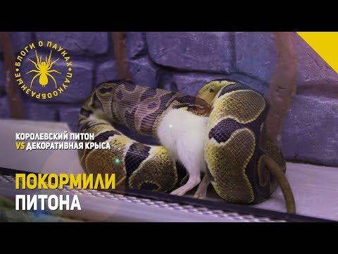Питон VS Крыса
