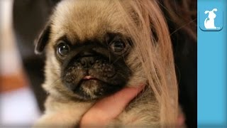 Cutest Pug Puppy Plays With My Hair - Puppy Love